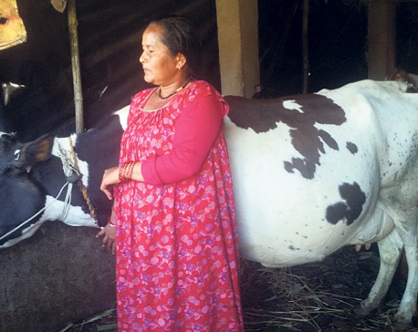 Milk farmers better off due to better marketing, supply to Kailali