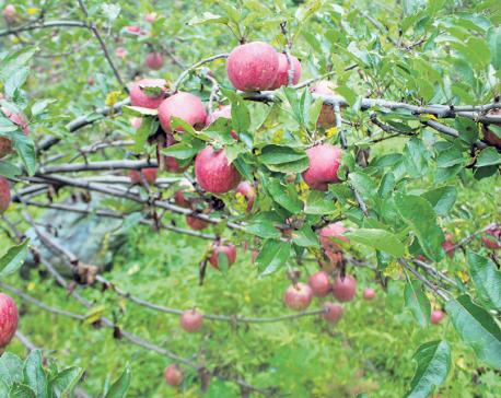 Mugu supplies 300 tons of apples