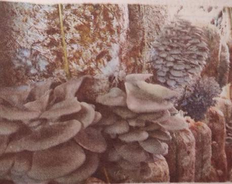 Mushroom farming, boon for Dadeldhura youth