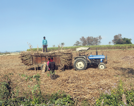 Nawalparasi sugarcane farmers still await payments worth Rs 190 million