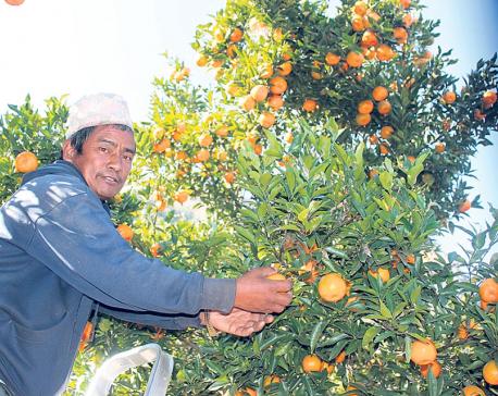 Traders reach farm to book oranges