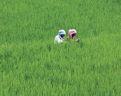 Paddy production projected to rise to 5.6 million metric tons this year