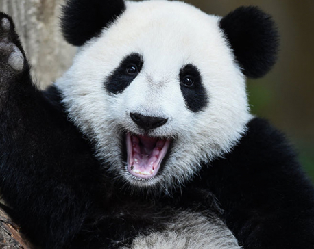 Giant Panda no longer threatened with extinction - Chinese Naturalists
