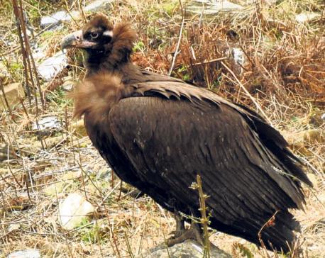 Endangered vulture species spotted in Jajarkot