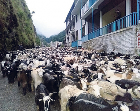 Import of sheep and mountain goats starts through Tatopani
