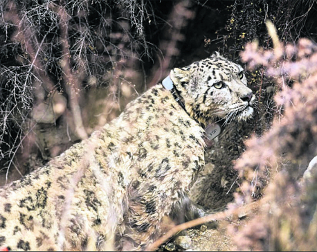 Snow leopards fitted with 'satellite GPS collar'