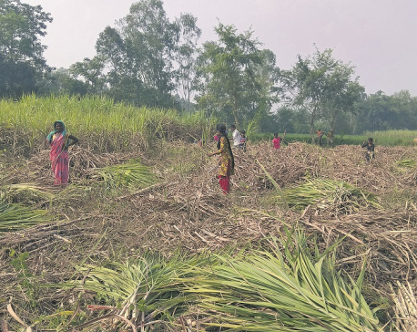 After sugar mills, it's the govt that 'cheats' farmers