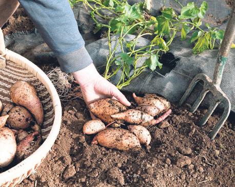 Benefits of Sweet Potatoes and Taro Root