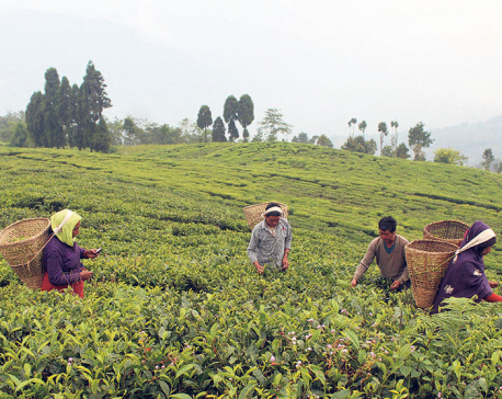 Tea production in Ilam likely to fall by a fifth