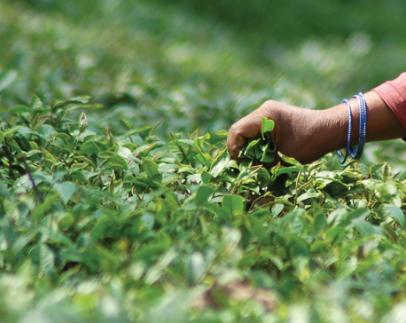 Tea exports grow by 26 percent