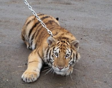 The end of the tigers?