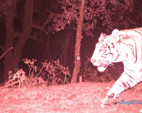 Panthera Tigris spotted in Dadeldhura at 2,500 meters; Experts term it as rare occurrence (with photos)