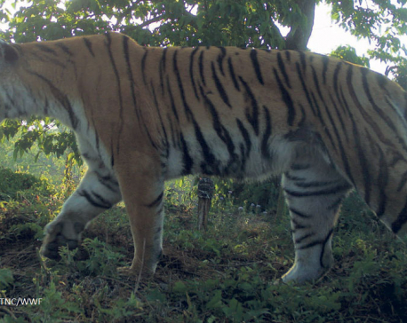 A tigress that has killed 19 humans