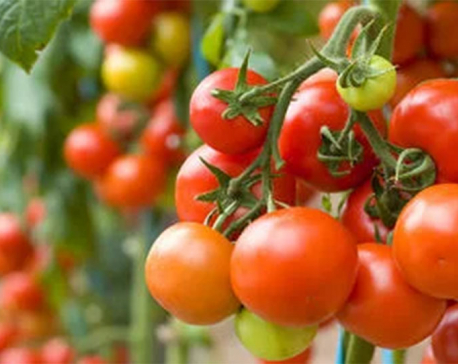 Low production in India causes tomato price hike