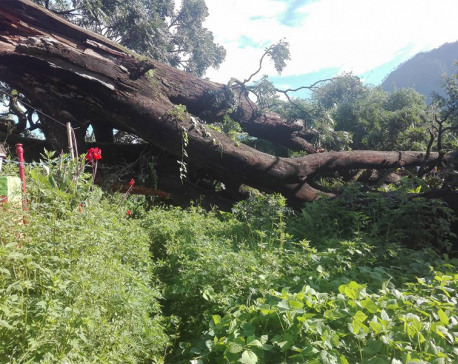 200- year old tree collapses in Baglung