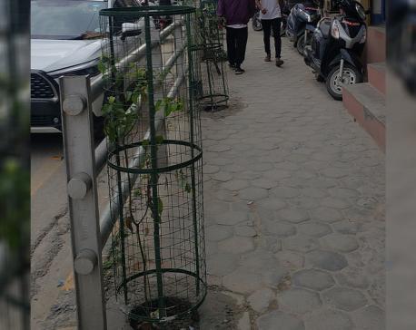The Ill-planned Roadside Plantation in Kathmandu
