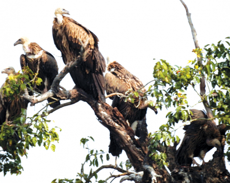 Vultures return to Shuklaphanta National Park