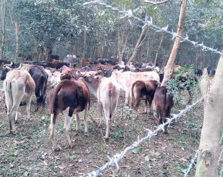 Municipality launches campaign to manage stray cattle