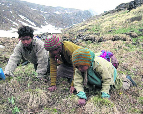 Yarsha season affecting local elections