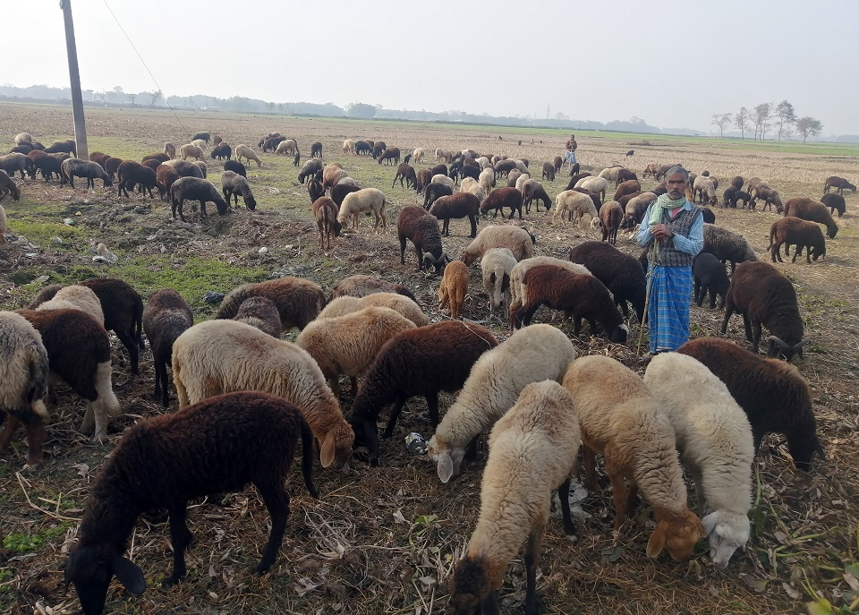 Last remaining shepherds of Nepal's eastern Terai plains struggling to retain their occupation