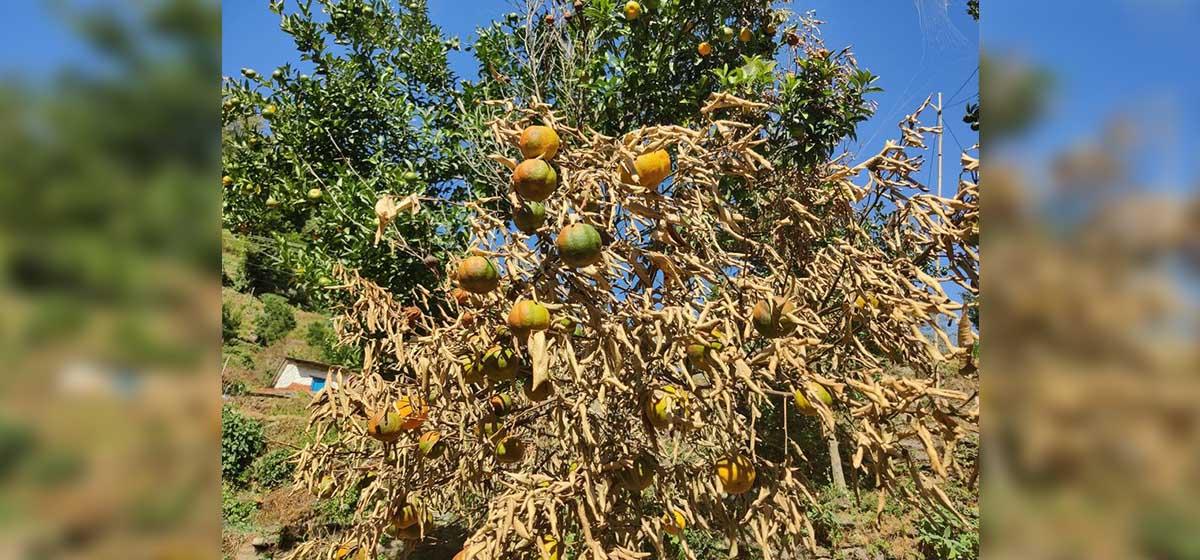 No market for oranges grown in Doti