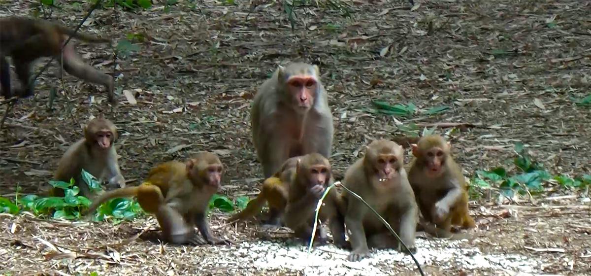 Settlements in Sunsari terrorized by monkeys