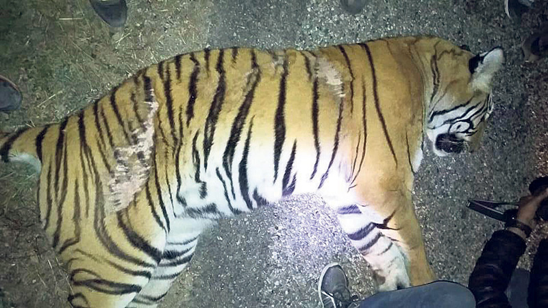 Road accidents threaten tiger conservation efforts