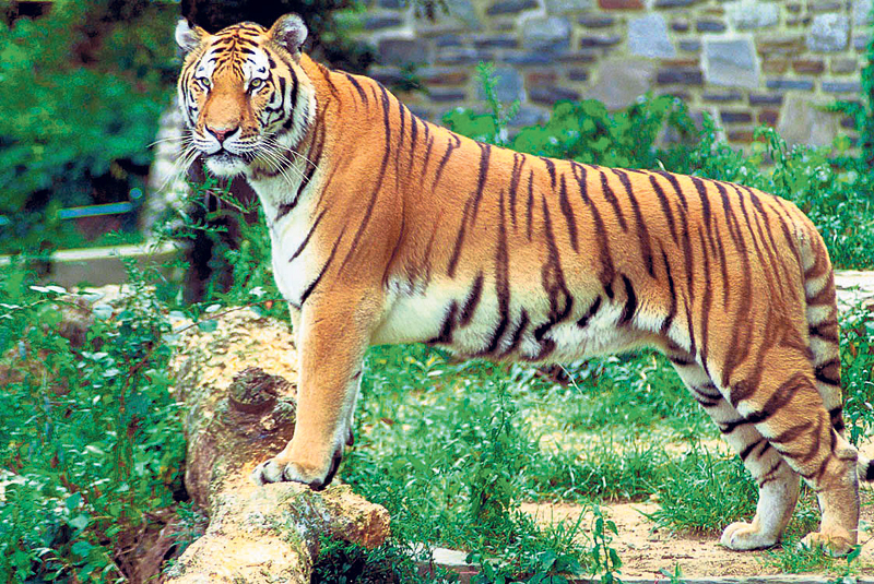 Tiger census kicks off in Baridya, its numbers expected to increase