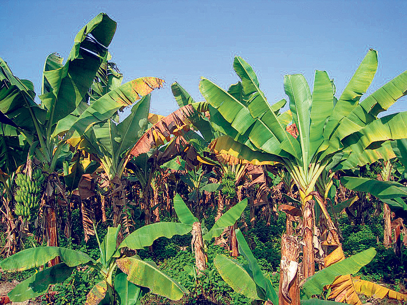 Kailali banana farmers lose out to cheaper imports