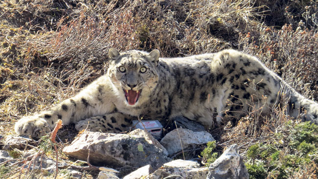 New snow leopard conservation plan in offing