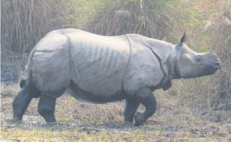 Rhino-attack claims woman in Chitwan