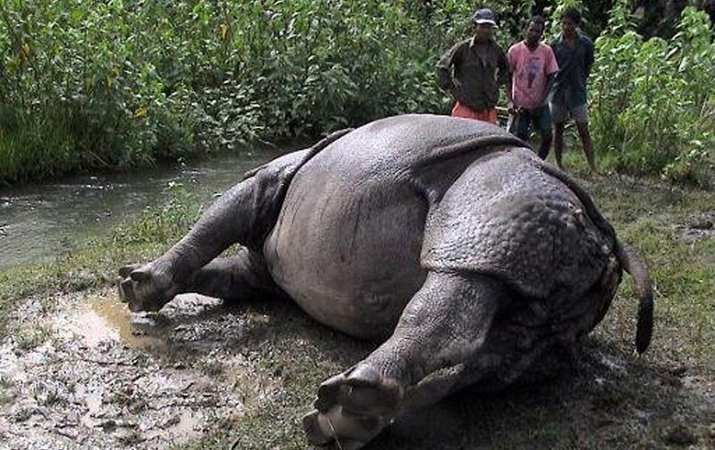 Rhino electrocuted in Chitwan
