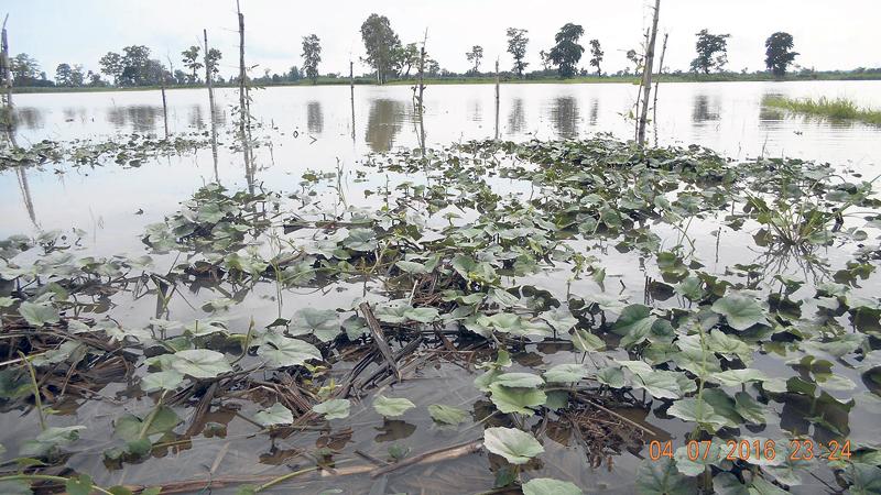 Mahakali floodwaters destroy crops in Kanchanpur
