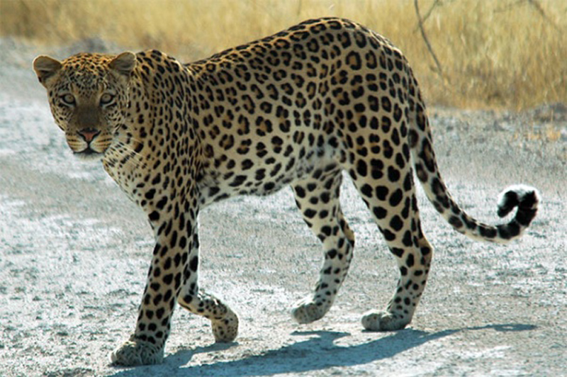 Four injured in leopard attack
