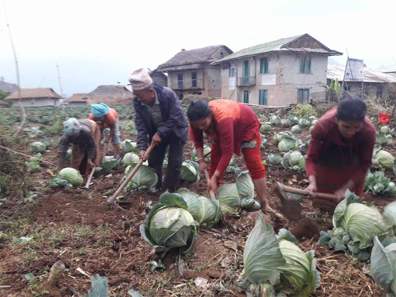 Farmers in Khotang practice multiple cropping