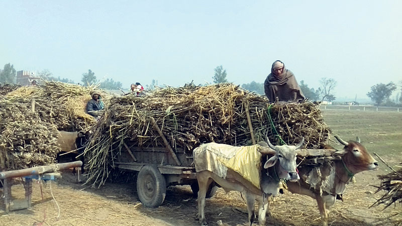 Rautahat sugarcane farmers offered cash for first time in a decade