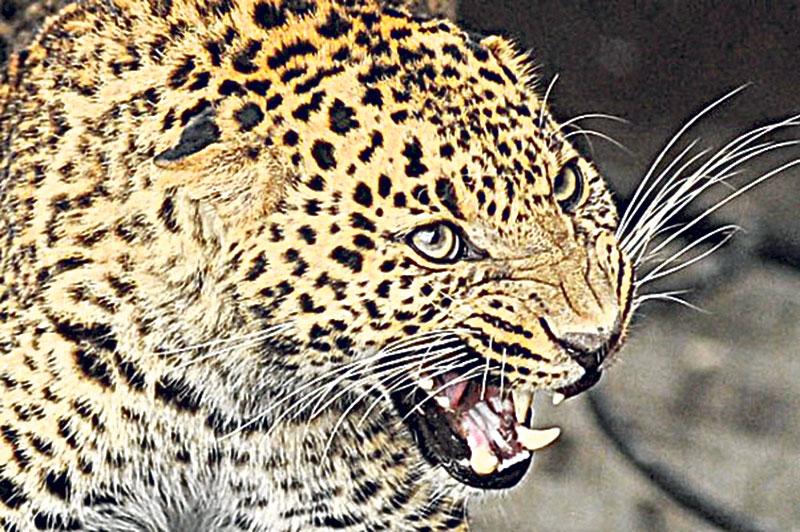 Baitadi villages under threat of leopard menace