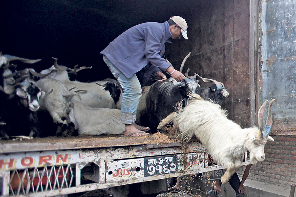 NFC starts selling goats for Dashain