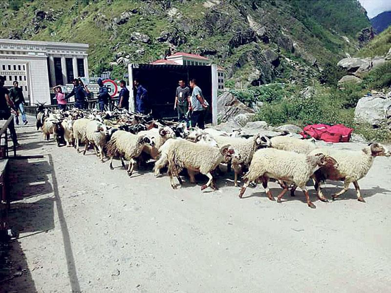 Import of sheep, mountain goats from Rasuwagadhi drops