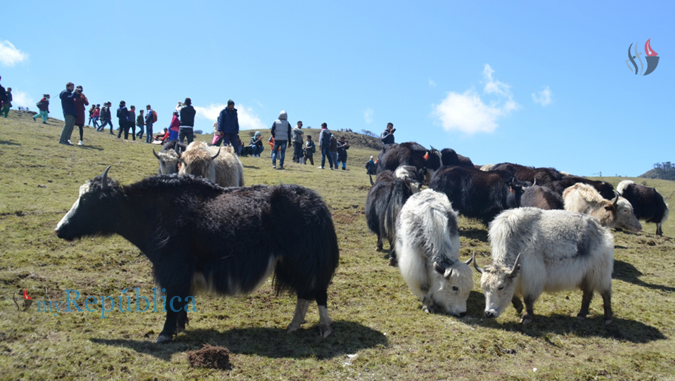Chhauri festival: A unique opportunity to be with the yaks in their abode (With picture)
