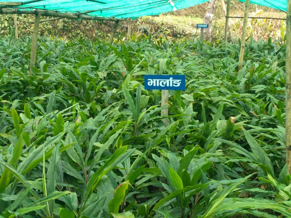 Cardamom production in Taplejung up by 400 tons