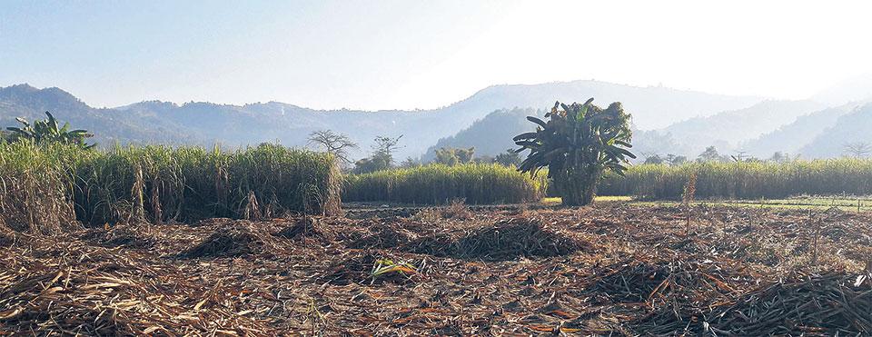 Sugarcane farmers criticize government for slashing cane prices
