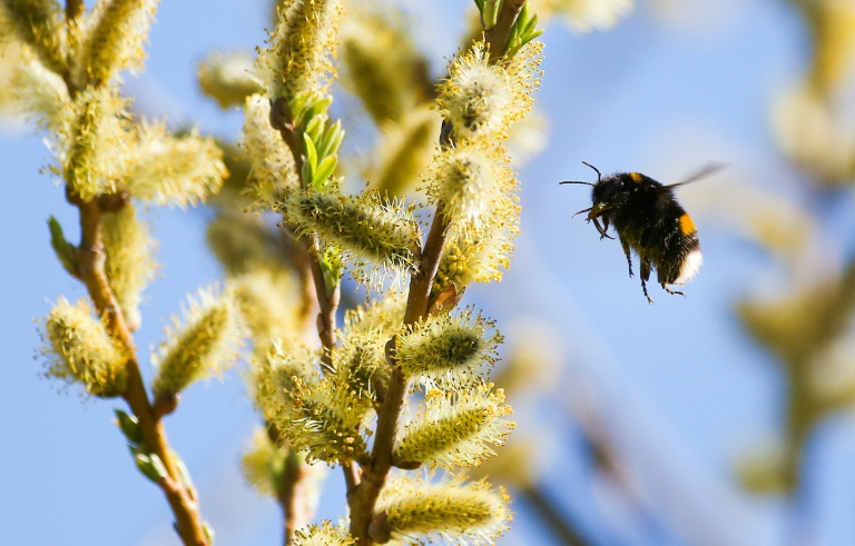 Bees get hooked on harmful pesticide: study