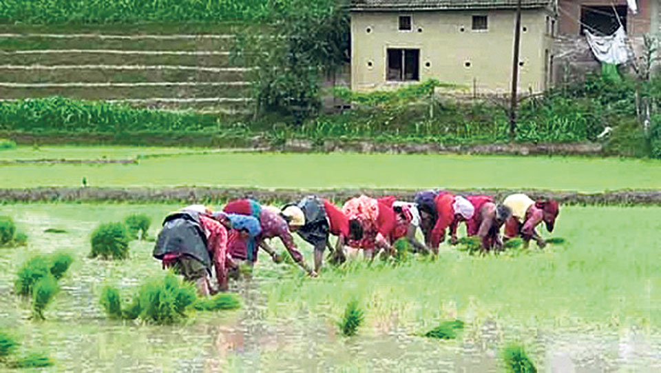 92 percent paddy plantation completed