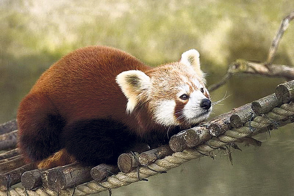 Red panda threatened by poachers