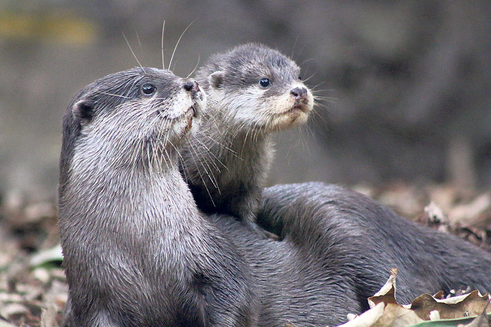 Otters: A species to know