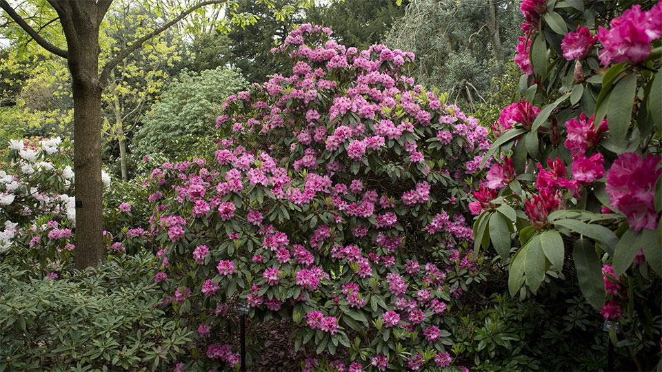 Climate change held responsible for early blooming of rhododendron