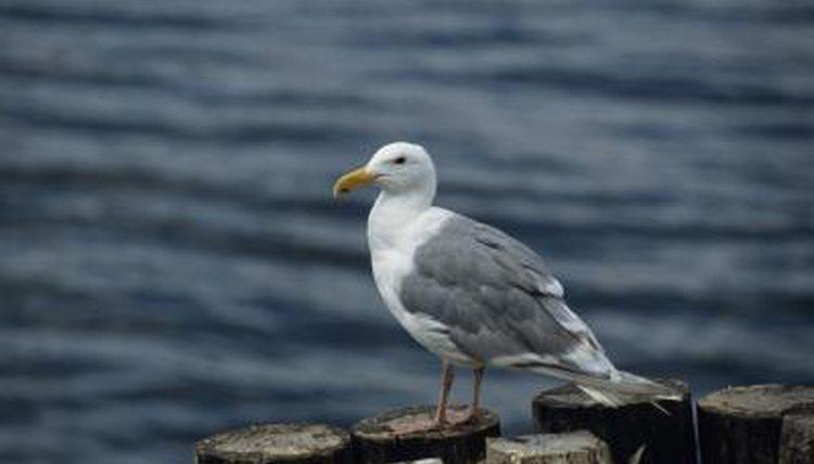 Drunken seagulls found lurching on beaches