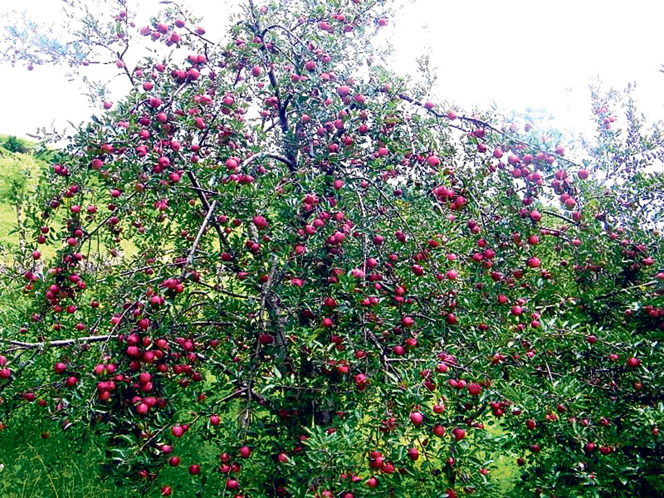 Apple Production Falling In Jumla My Republica
