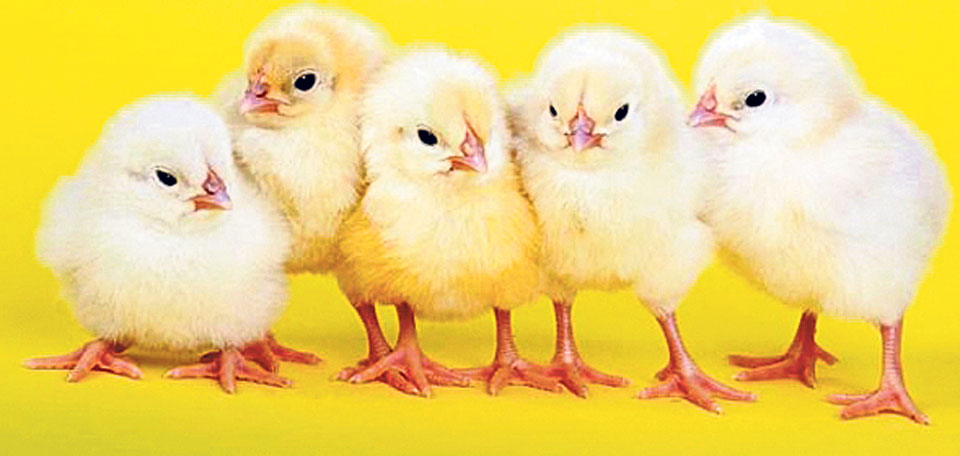 Farmers uninterested in raising broiler chicks